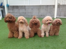IceMilkCandyしつけ方教室・犬の幼稚園